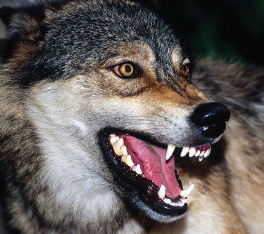 6-lobo